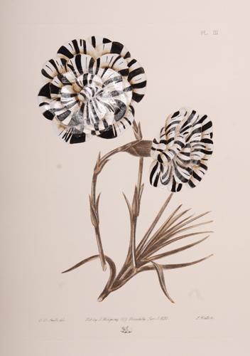 Carnation Series, Black & White