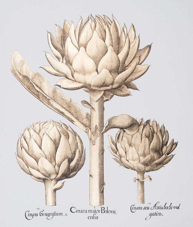 Besler Gold Artichoke