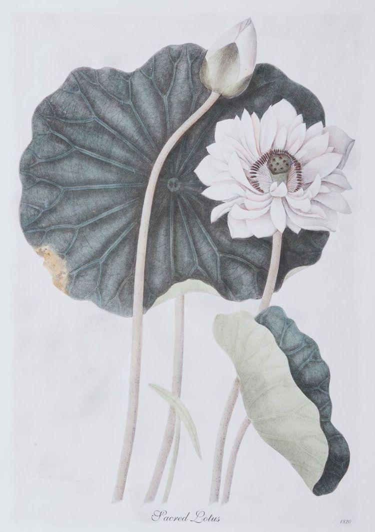 Sacred Lotus (B)