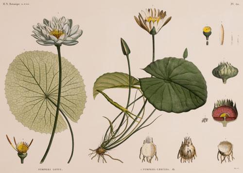 Nymphaea Nelumbo