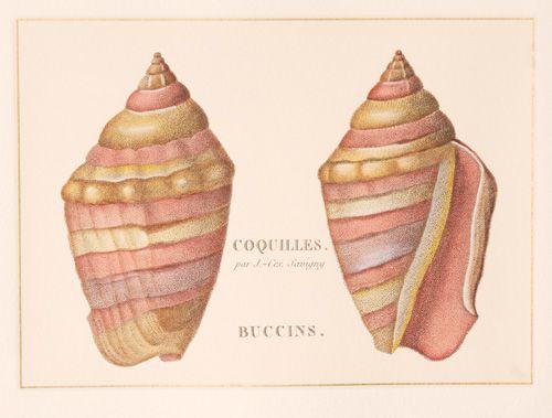 Coquilles Buccins