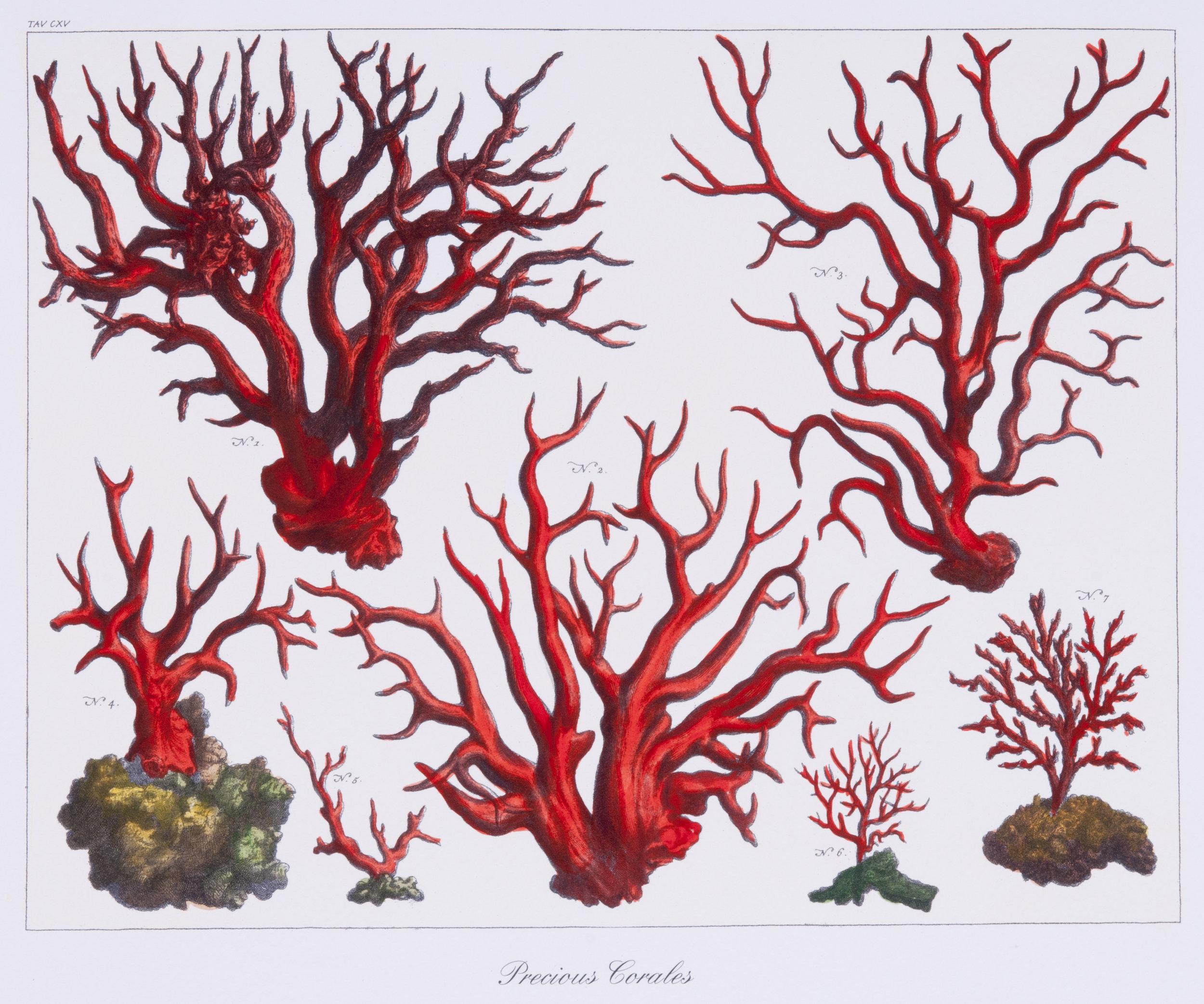 Precious Coral (1)