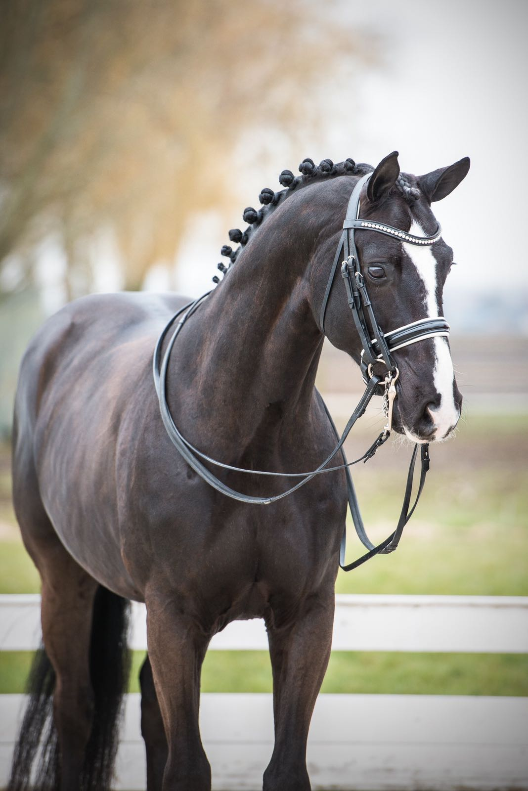 """- Rapper JoeRapper Joe is a gorgeous 2009 year old 16 hand pure black imported Hanoverian gelding. Brilliantly showing the genes of his previous generations, he is just magnificent. This horse has an all-star pedigree including Donnerhall, Weltmeyer, World Cup I, and looks just like his sire Rotspon and grand sire Rubenstein, pitch-black, well built with strong haunches and free shoulders. """"RJ"""" has shown 4th Level and Prix St. Georges and has an FEI passport. He is extremely fun and has super expressive gaits with talent for collection. Huge Wow Factor and extremely competitive. Perfect for the ambitious Junior/Young Rider looking for the horse to get into the FEI arena, or a horse to start your small-tour competitive career, or get your silver medal. Safe enough for the amateur, competitive horse for the Junior/Young Rider and quality and bloodlines for the professional.Pricing tier: P4"""