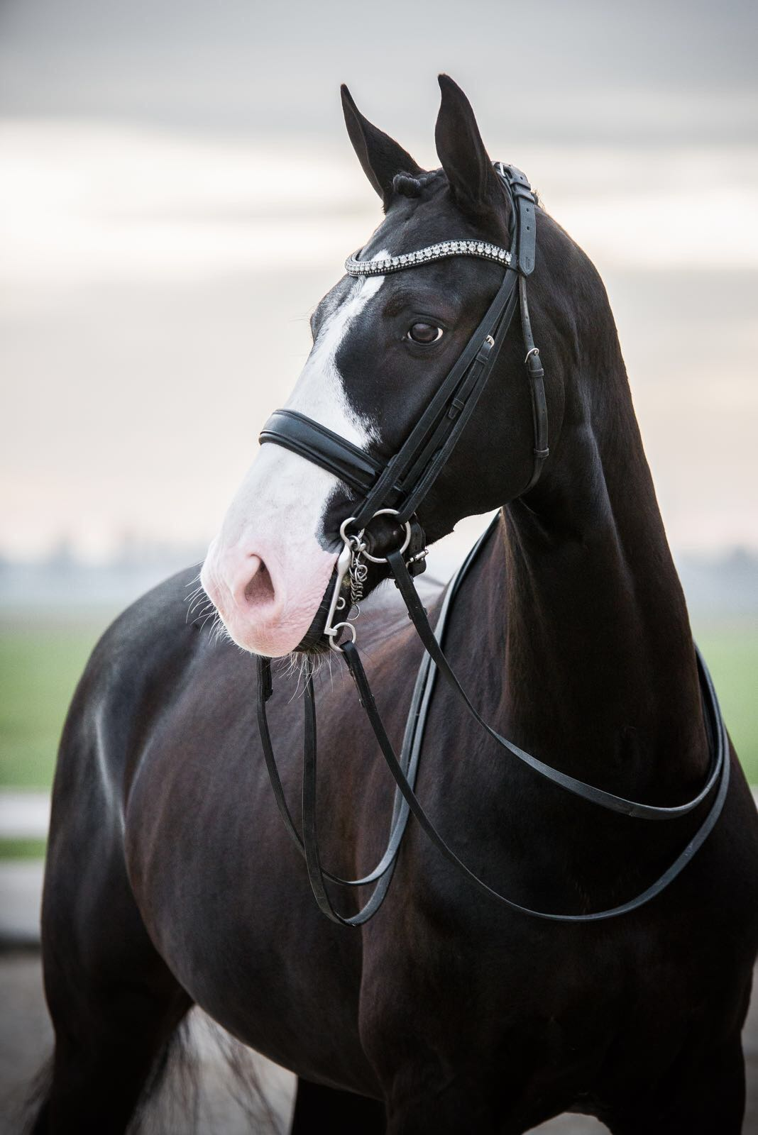 Boytano - Gorgeous black 12 year old imported Dutch Warmblood gelding by the famous stallion Rhodium. Shown through 4th level and schooling Prix St. Georges with 3 and 4 tempis. Boytano was born to show!!!! Extremely safe and reliable and easy to sit. Talent for collection with expressive changes and great halfpass. Boytano is sweet and attractive with excellent work ethic and an easy going personality. Honest and always willing, Boytano is the ideal schoolmaster for the adult amateur or junior rider who wants a safe and sane teacher that is also extremely competitive.Pricing tier: P2