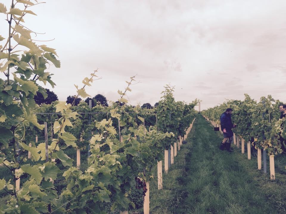 Photo credit: Yew Tree Vineyards
