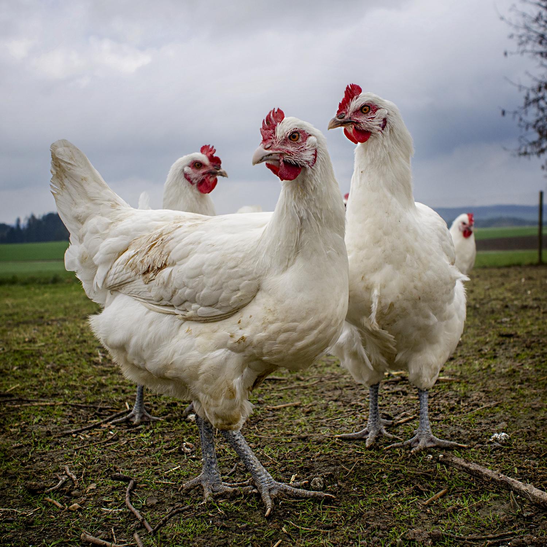 chicks-3.jpg