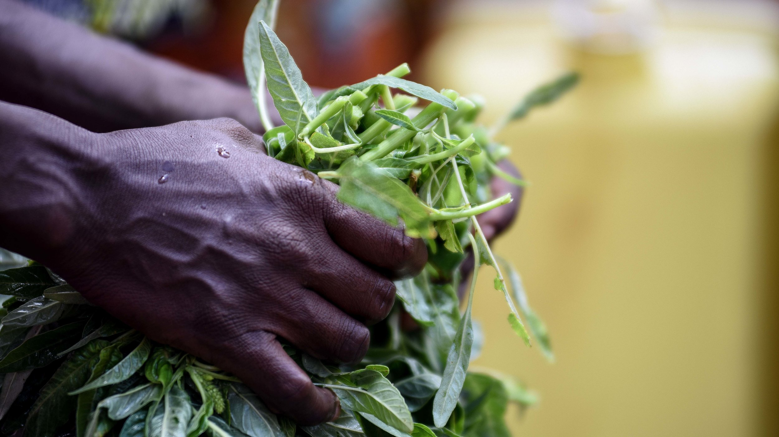 Fresh dodo (a  marynth)leaves are included in the Mahama Refugee Camp cooking demonstration, hosted and performed by GHI over two days.
