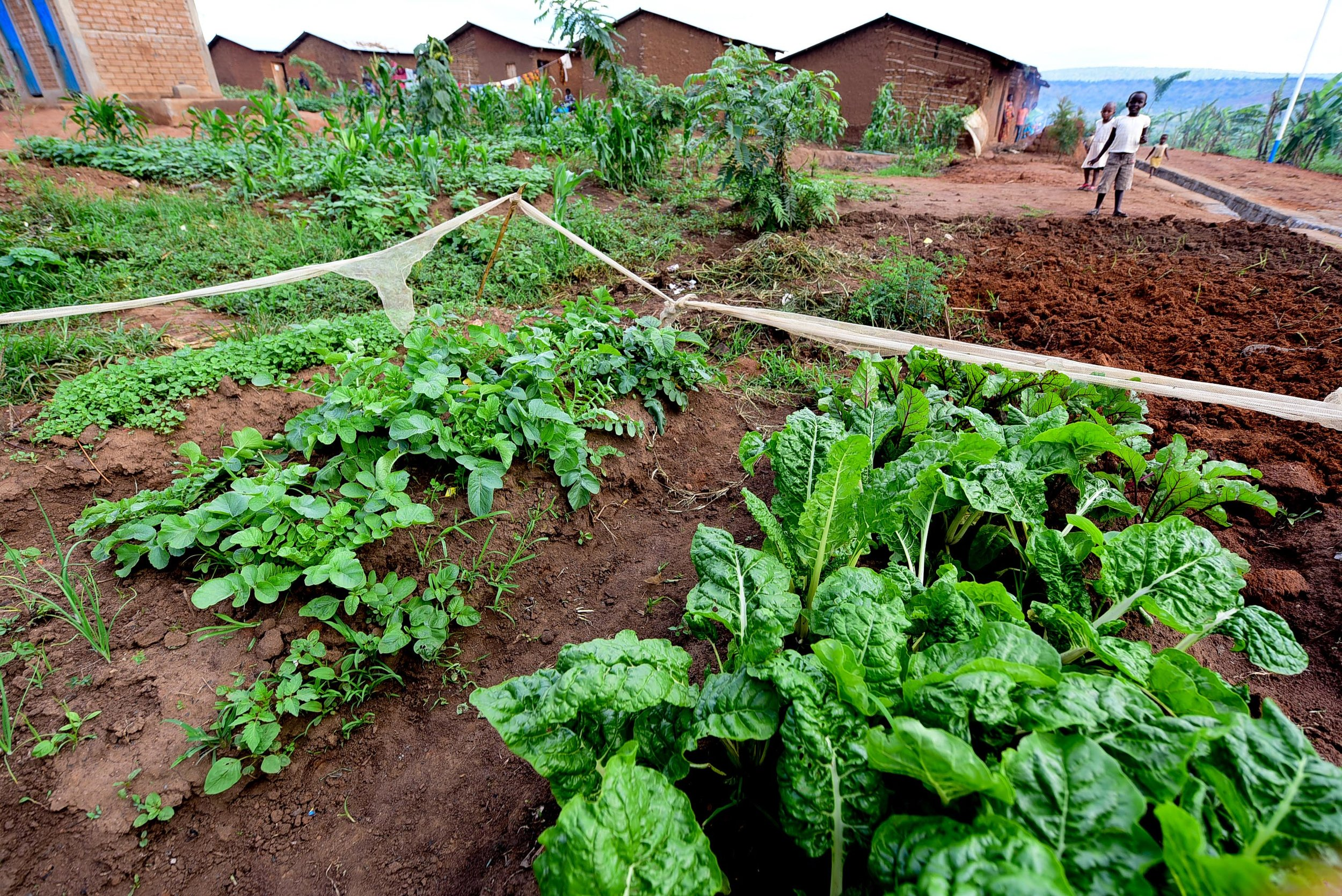 Radishes and Swiss Chard grow in the home garden of a GHI graduate in Mahama refugee camp.