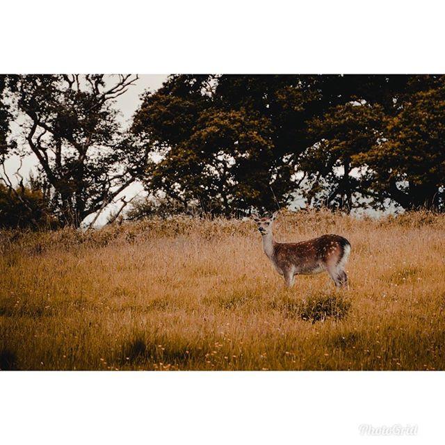 Deer in Ireland🦌 . . . . . . . . . #ireland #deer #animal #vsco #vscocam #sonya6300 #sony