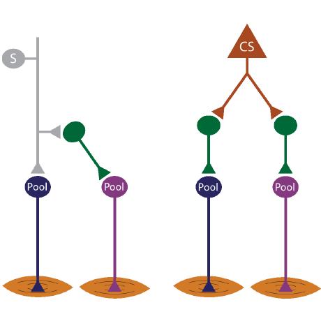 Edging toward entelechy in motor control. - Miri, A., Azim, E., Jessell, T.M. (2013). Neuron 80(3):827-34.Download PDF