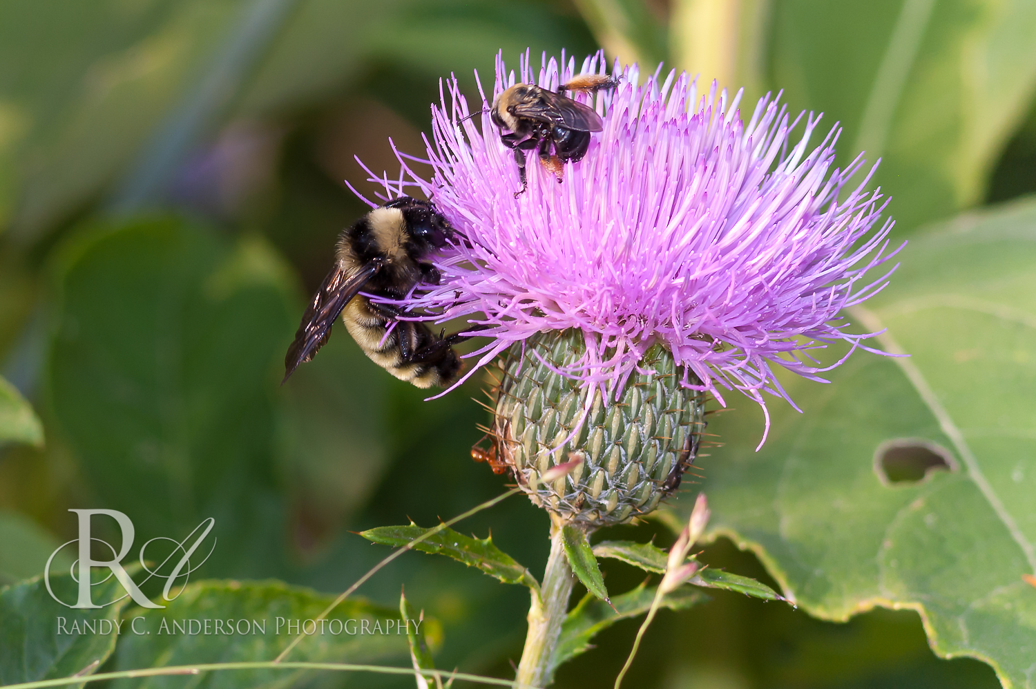 A  Bumblebee dwarfs a small Carpenter bee on this thistle plant.