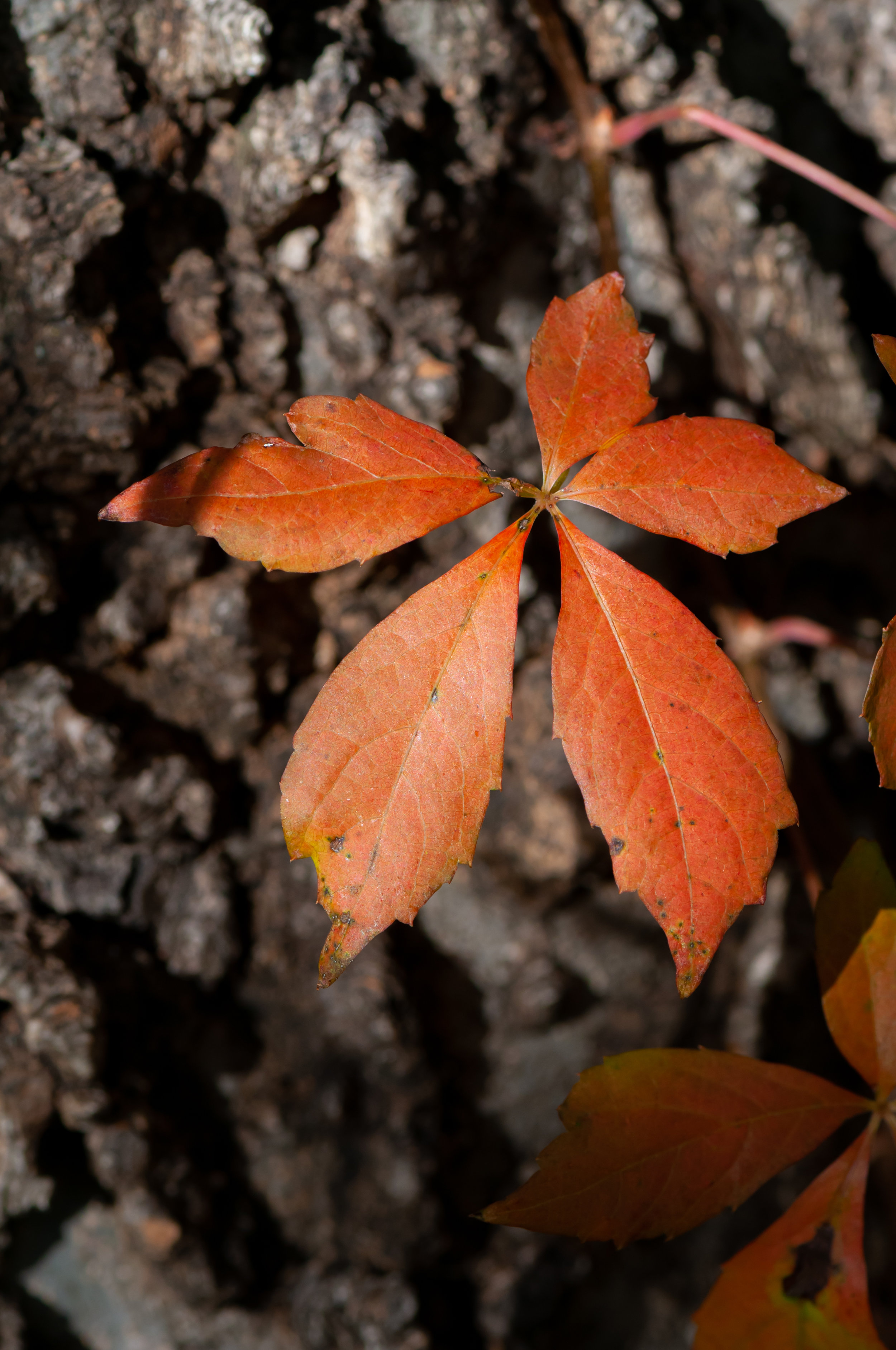 The bright red Virginia Creeper added color to the woodland.