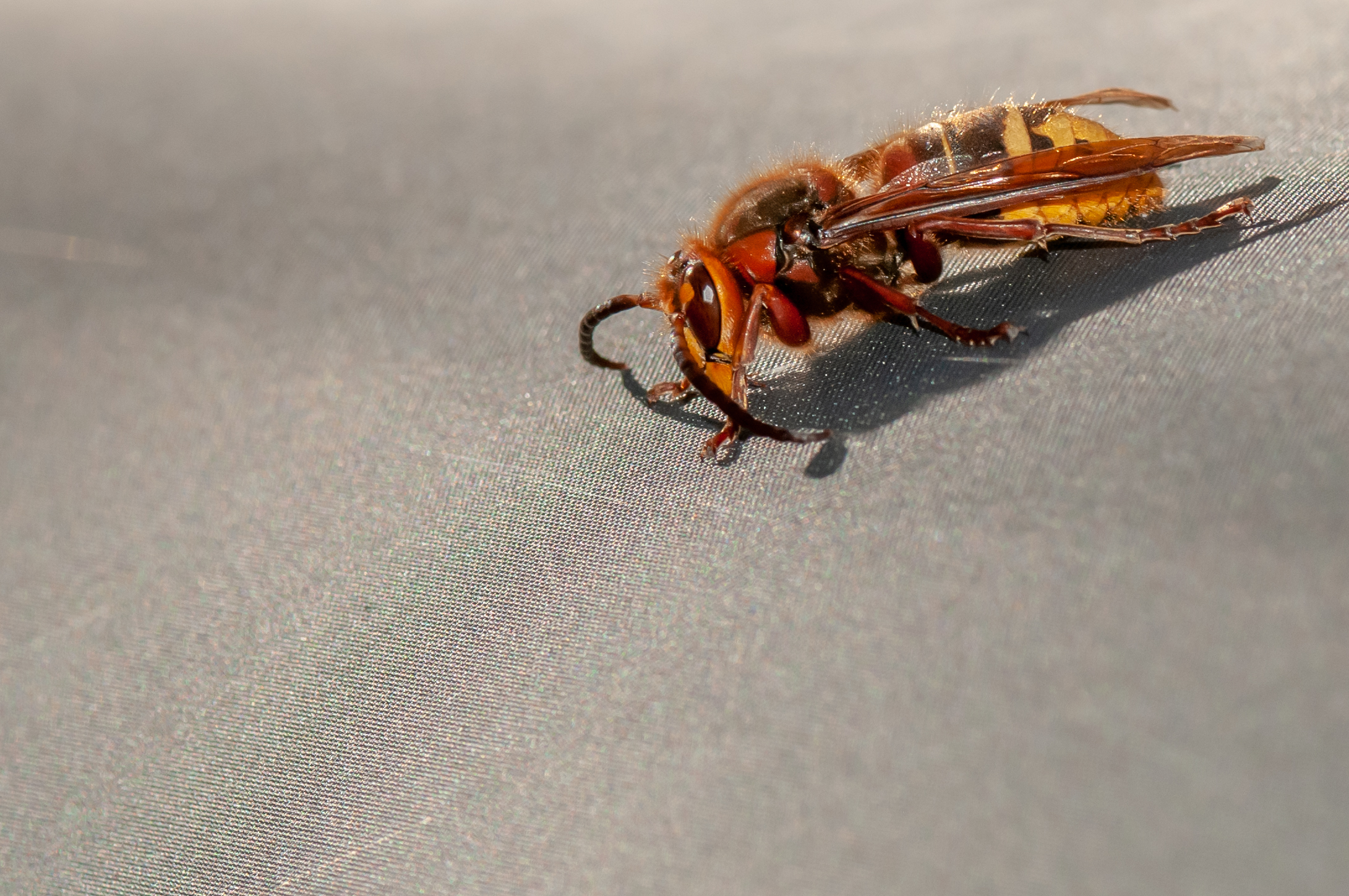 This hornet was warming up on our tent.