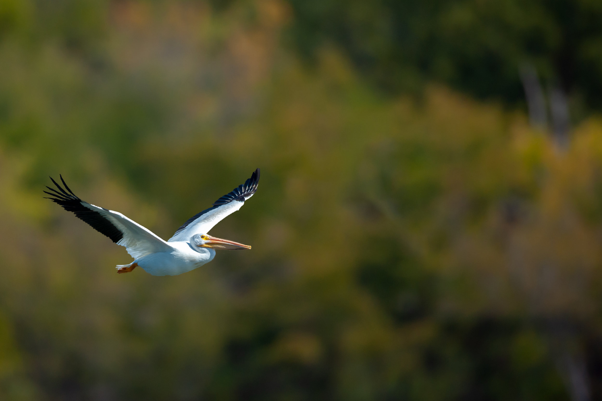 One of the White Pelicans that flew into the cove to join the feeding pod of birds.