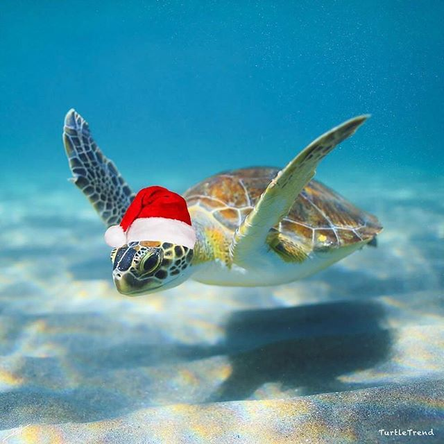 Merry Christmas to all! Remember Santa gives extra presents to those who recycle 😉 🐢❤️🎄 . #christmas #animalrescue #seaturtle #animalrights #happyholidays #turtletuesday #pastastraws