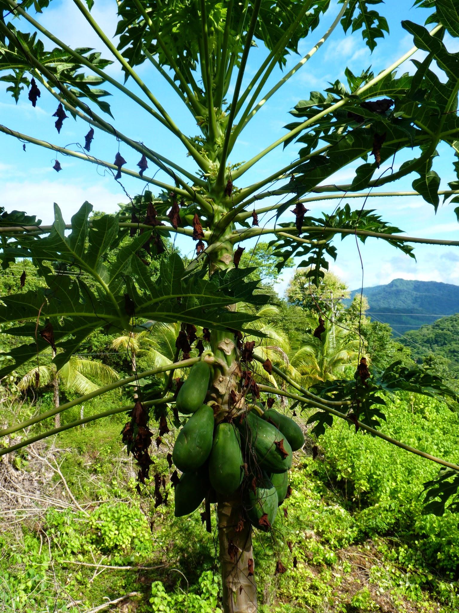 papaya tree and its fruit