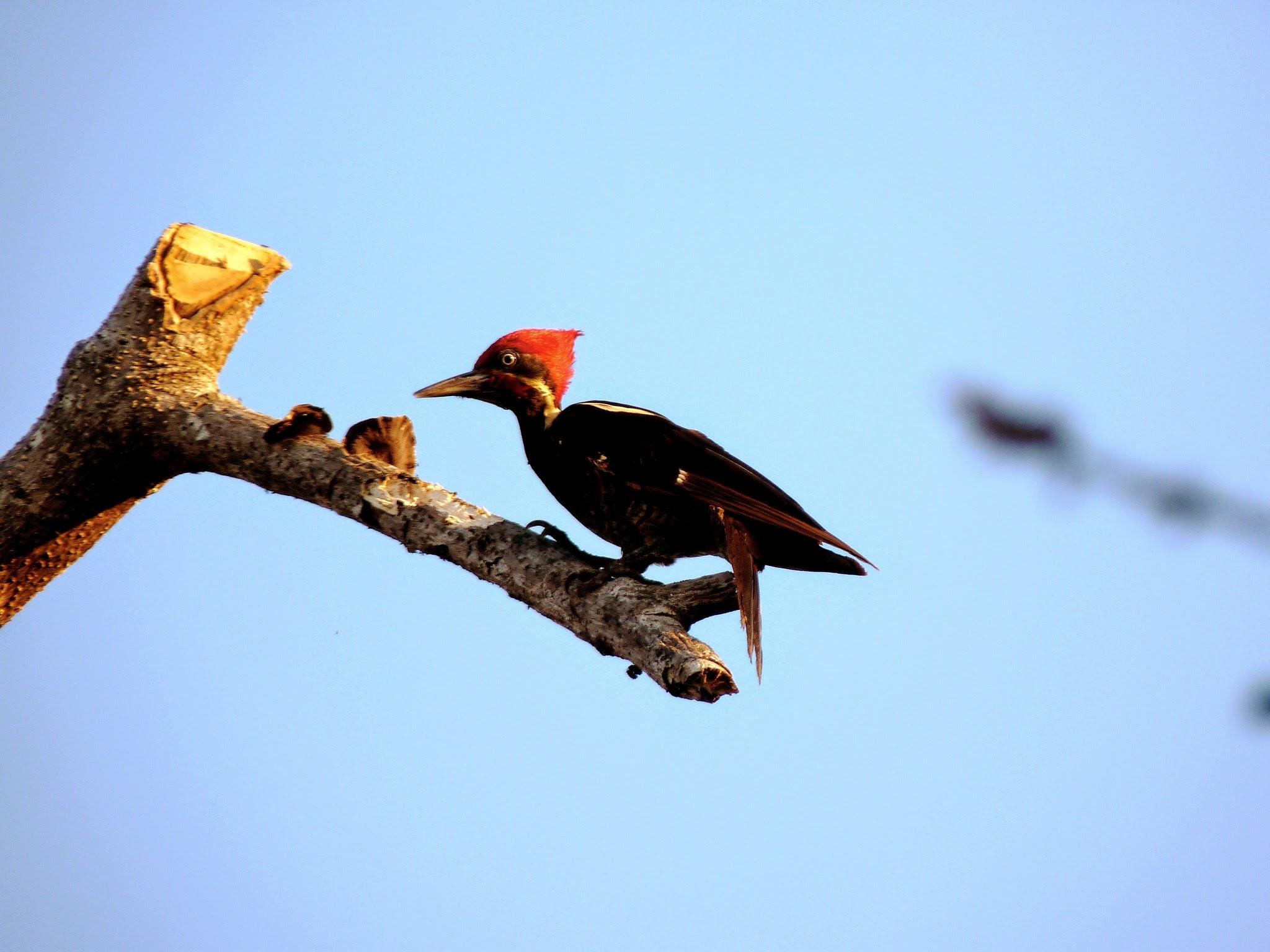 Hoffman Woodpecker