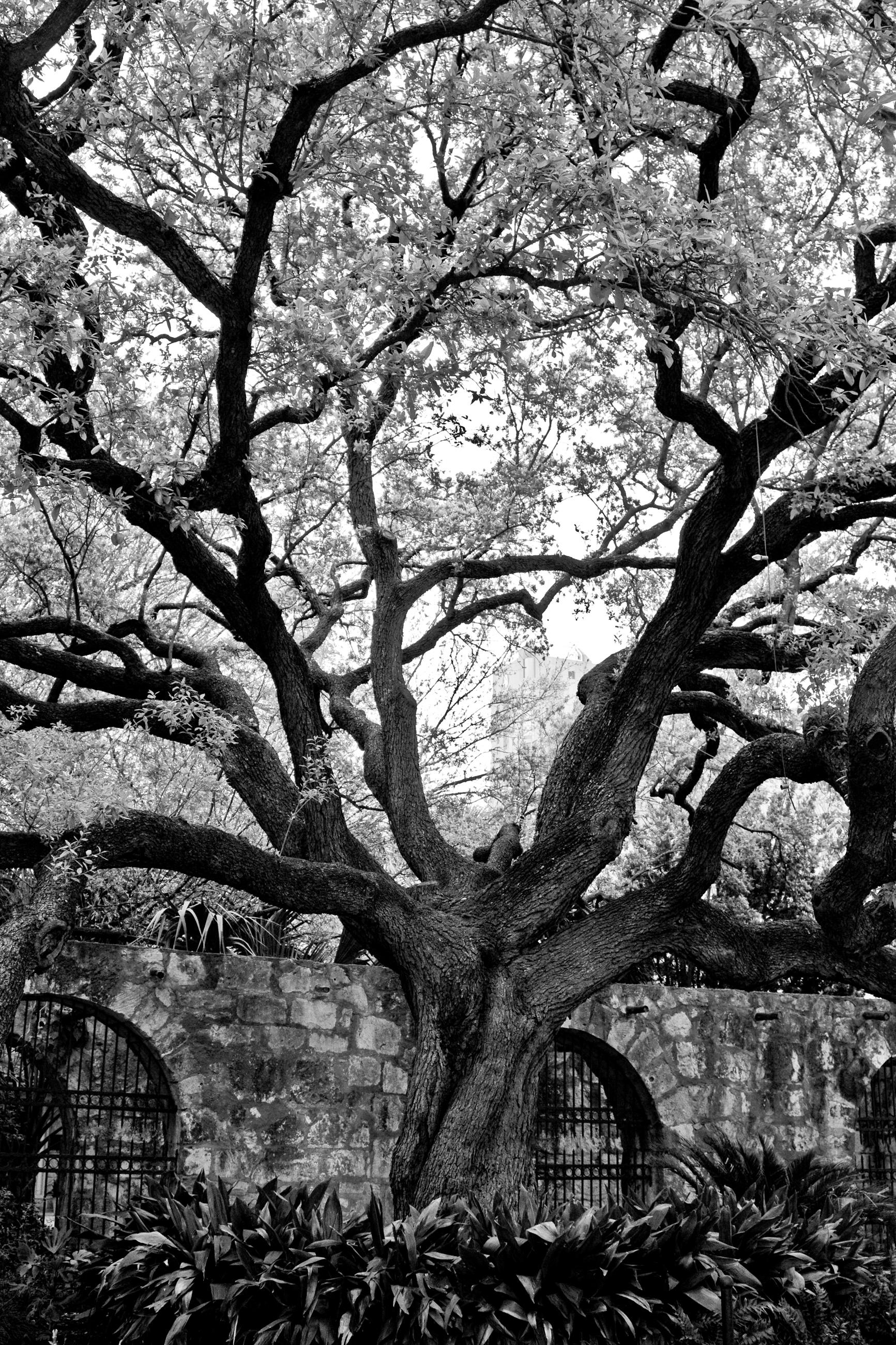 Alamo Branches