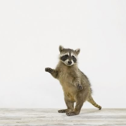I'm a raccoon. - Here to make things look SYMMETRICAL! And because RACCOONS are kinda rude.