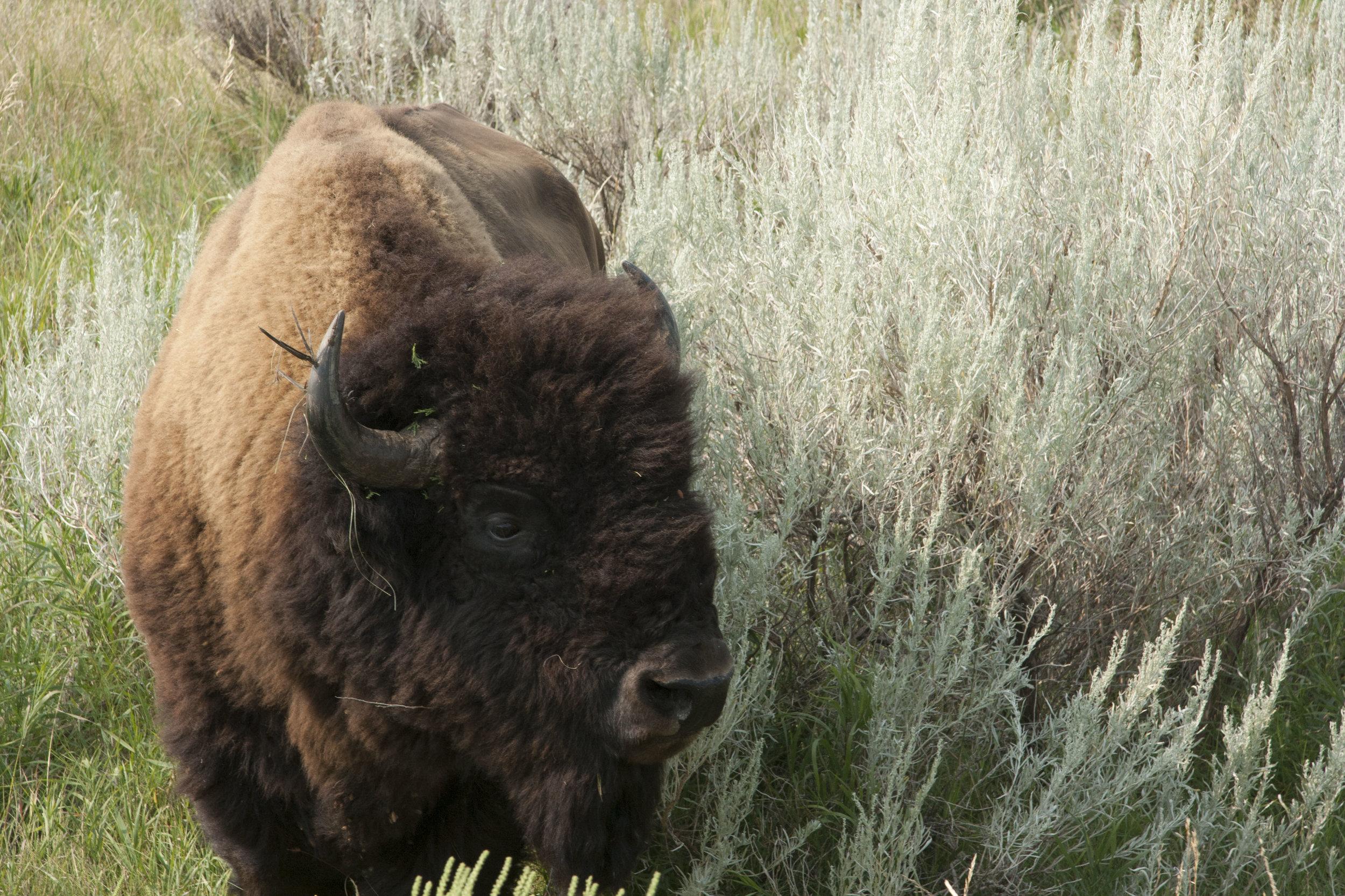 Buffalo, Bandlands, North Dakota