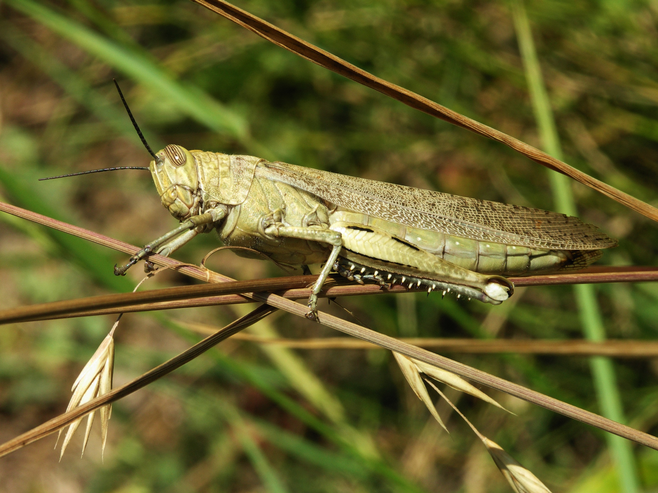 Acrididae_grasshopper-2.jpg