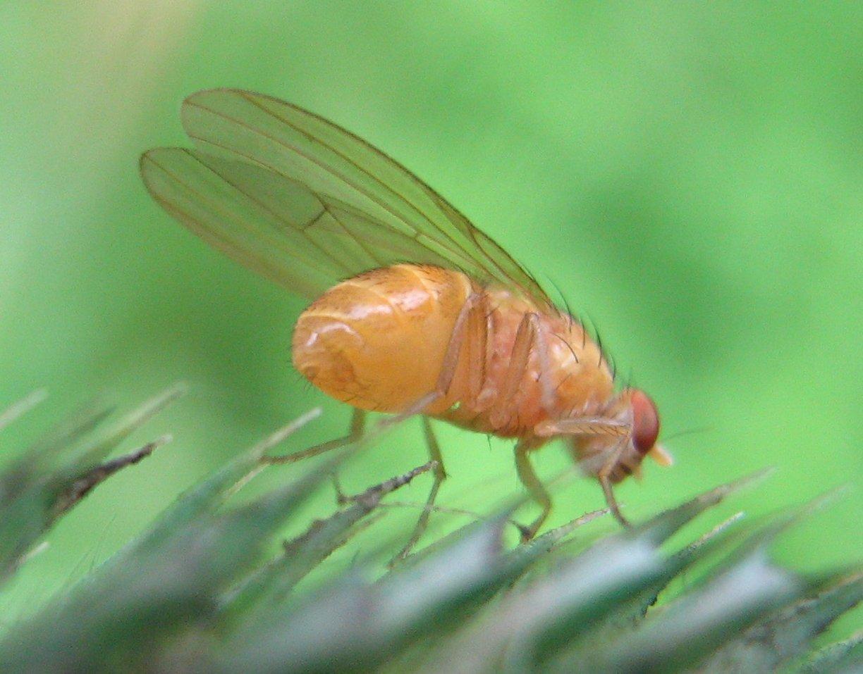 Drosophila-melanogaster-Nauener-Stadtwald-03-VII-2007-12.jpg