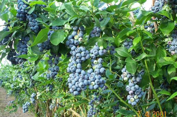 Make a right at the blueberry bush.