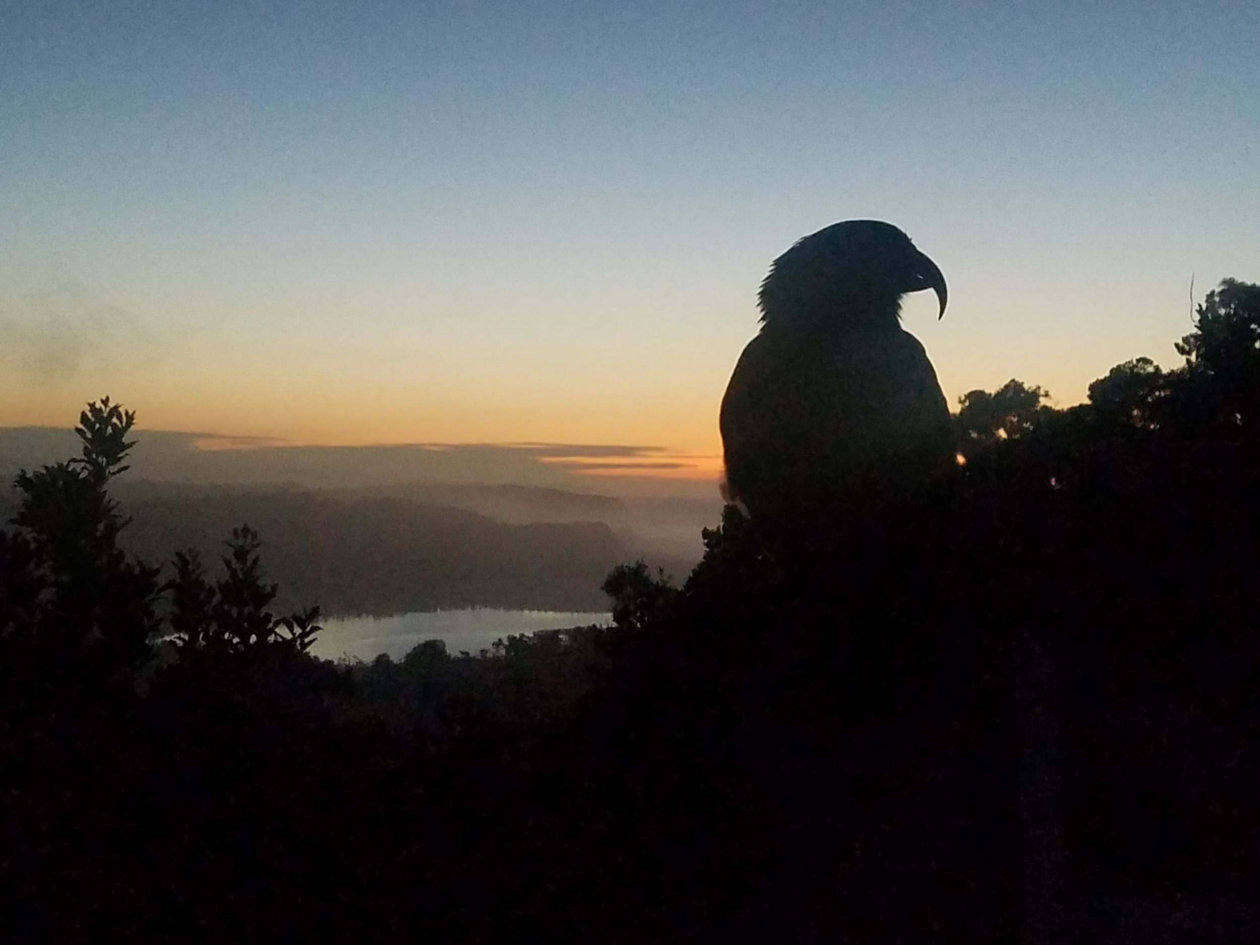A Kea sitting on a branch in the sunset.