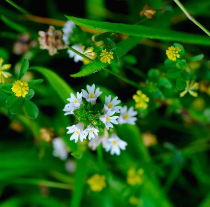 Haymeadow%20flower%201.jpg