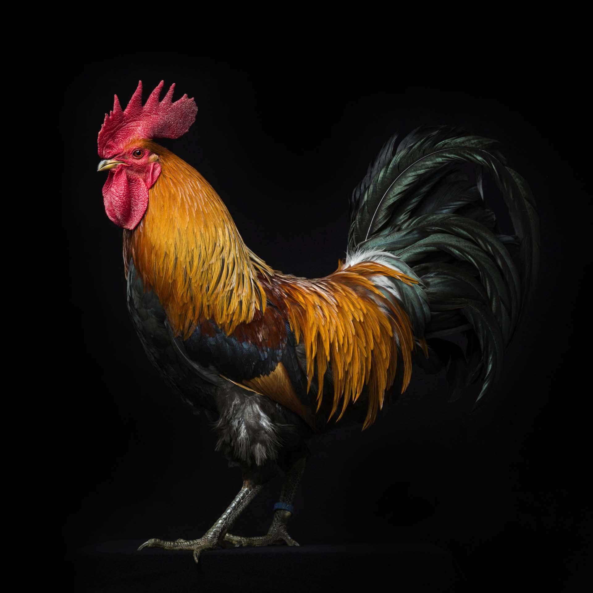 #1 Polish Greenfoot Chicken.jpg