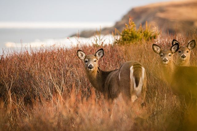 Early morning light by the shore and then these beautiful deer show up. Life is good! . . . . . . #explorecb #deer #wildlifephotography @visitcapebretonisland  @visitnovascotia