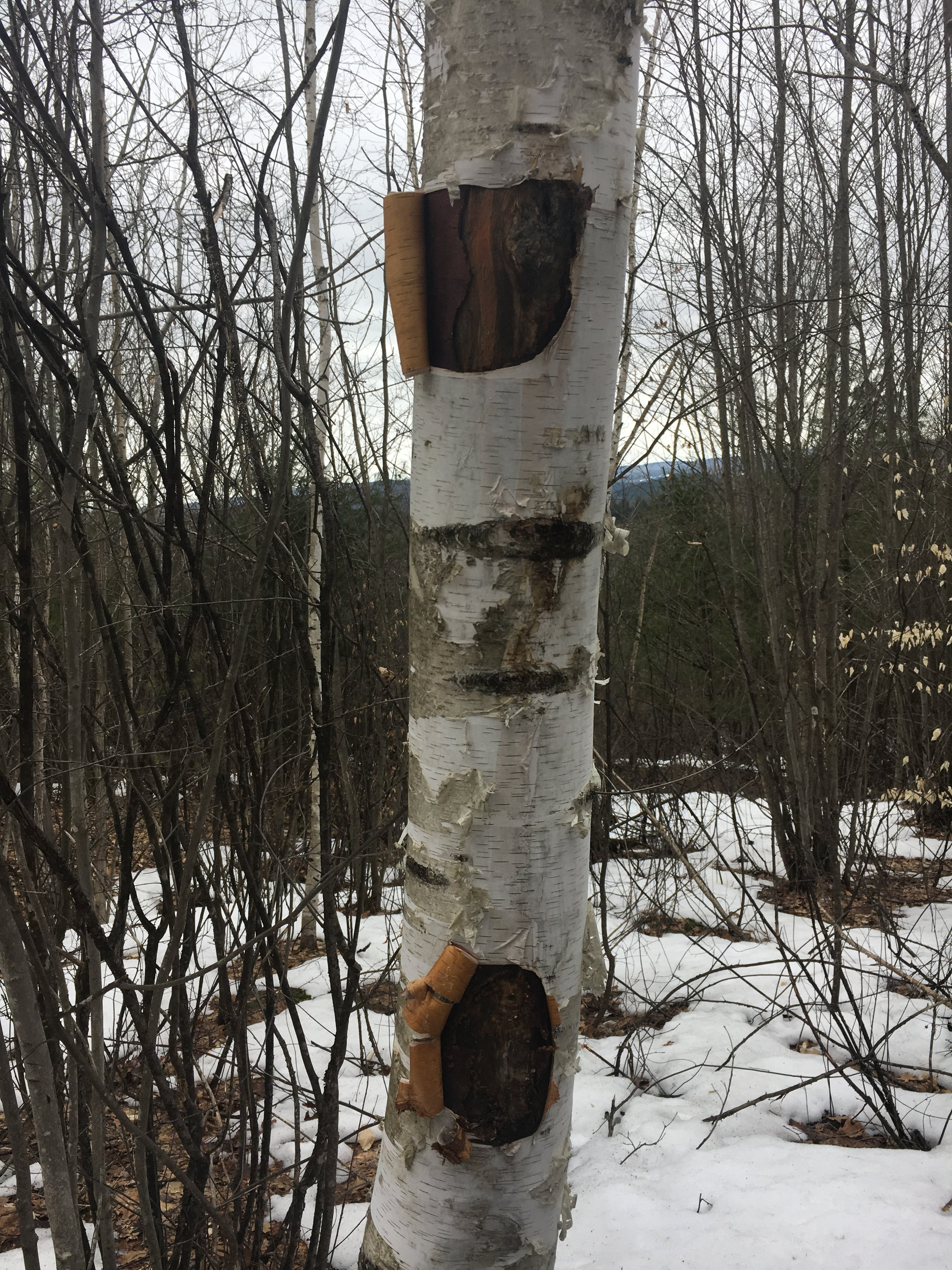 We search for inspiration in the birch trees. They linger by our cottage, a cape nestled in a clutch of woods at the base of Gillette and Jericho Hills in Windsor County, Vermont. Pine, maples, and birch are everywhere. They may be common, but you will remember meeting one in a thicket, if you happen to notice it on your walk.