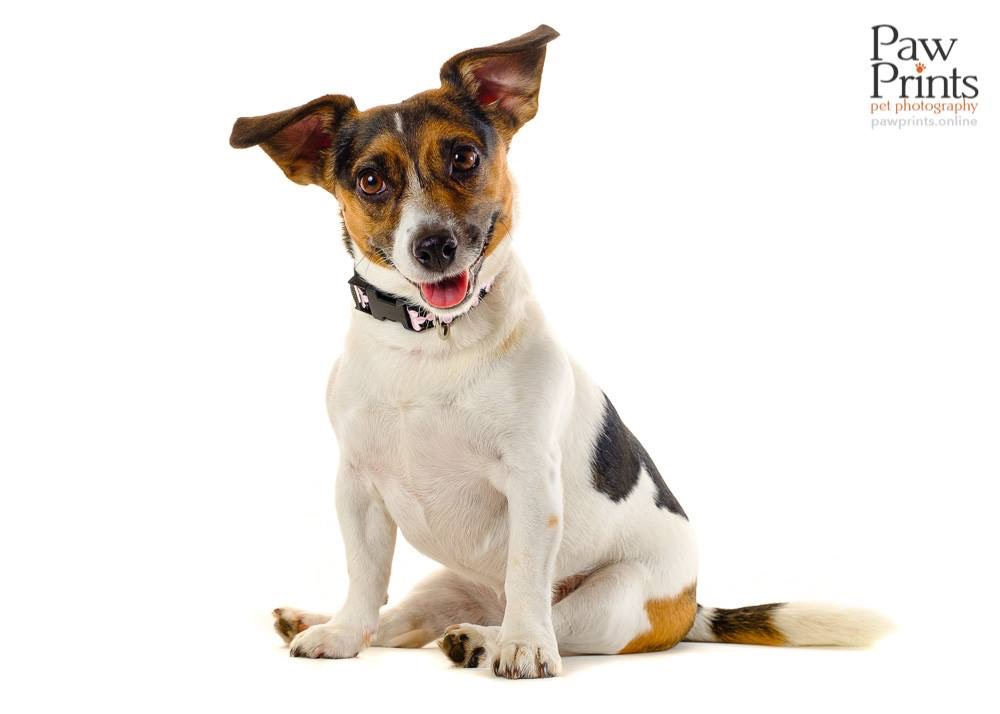 Jack Russell dog photo