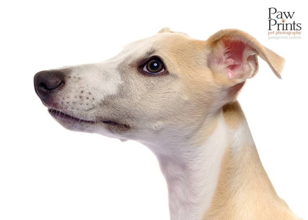 Whippet dog photograph