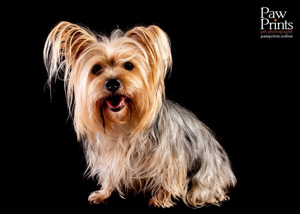 Yorkshire Terrier dog photograph