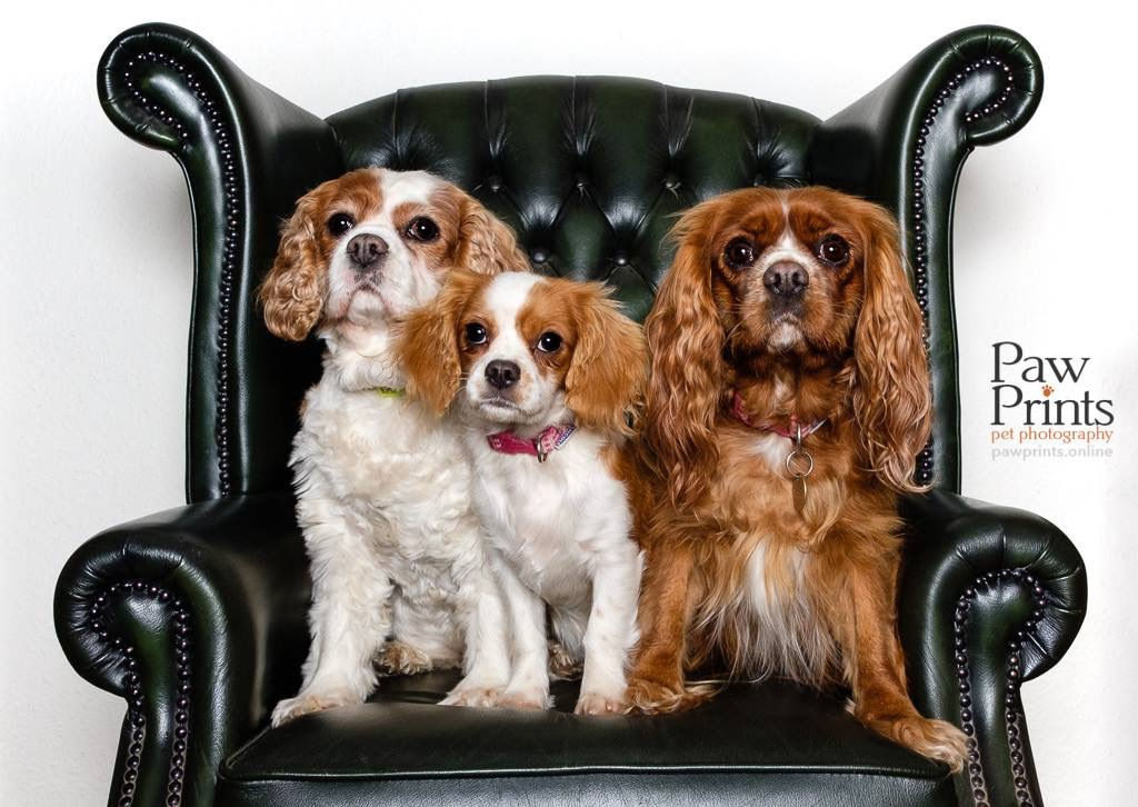 Three Cavalier King Charles Spaniels in a leather armchair dog photograph