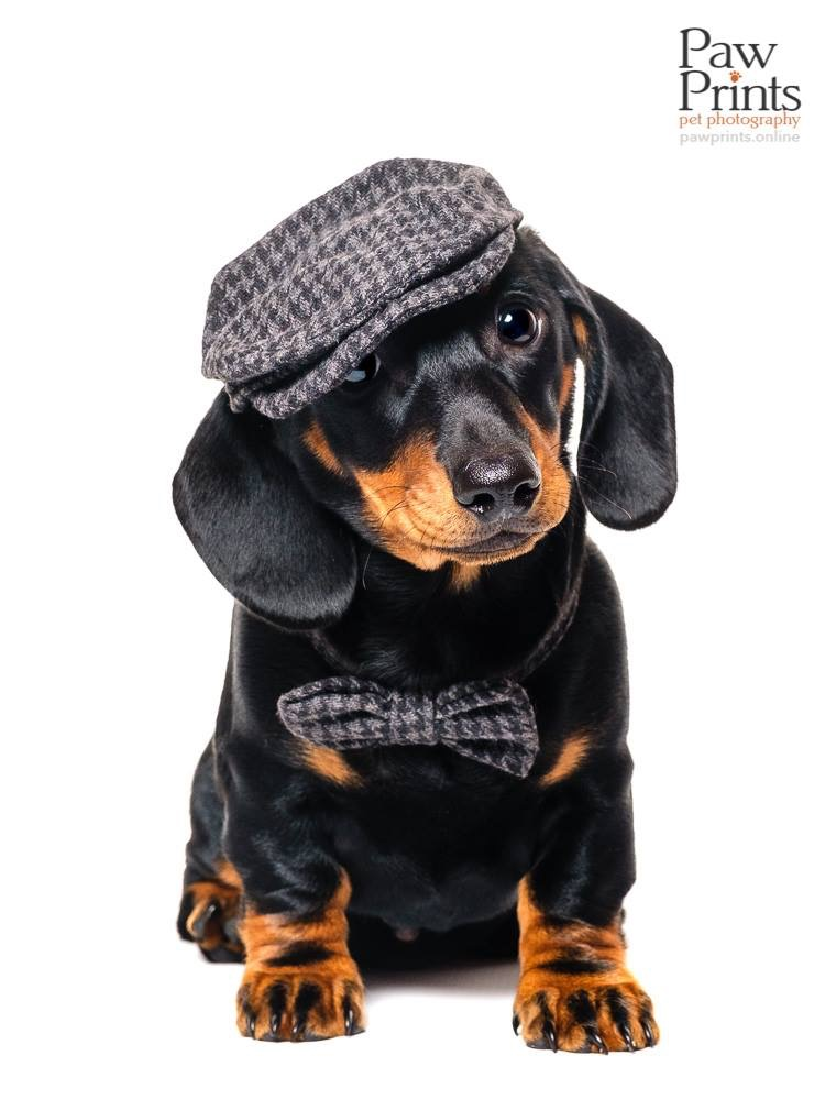 Miniature Dachshund dog photograph