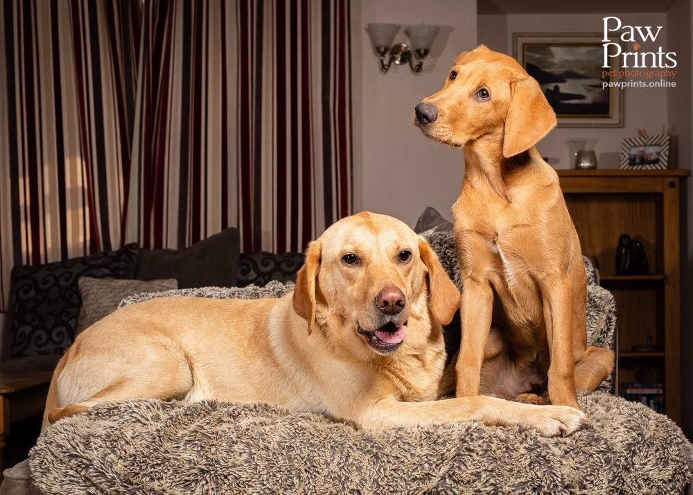 Two Labrador dogs photo