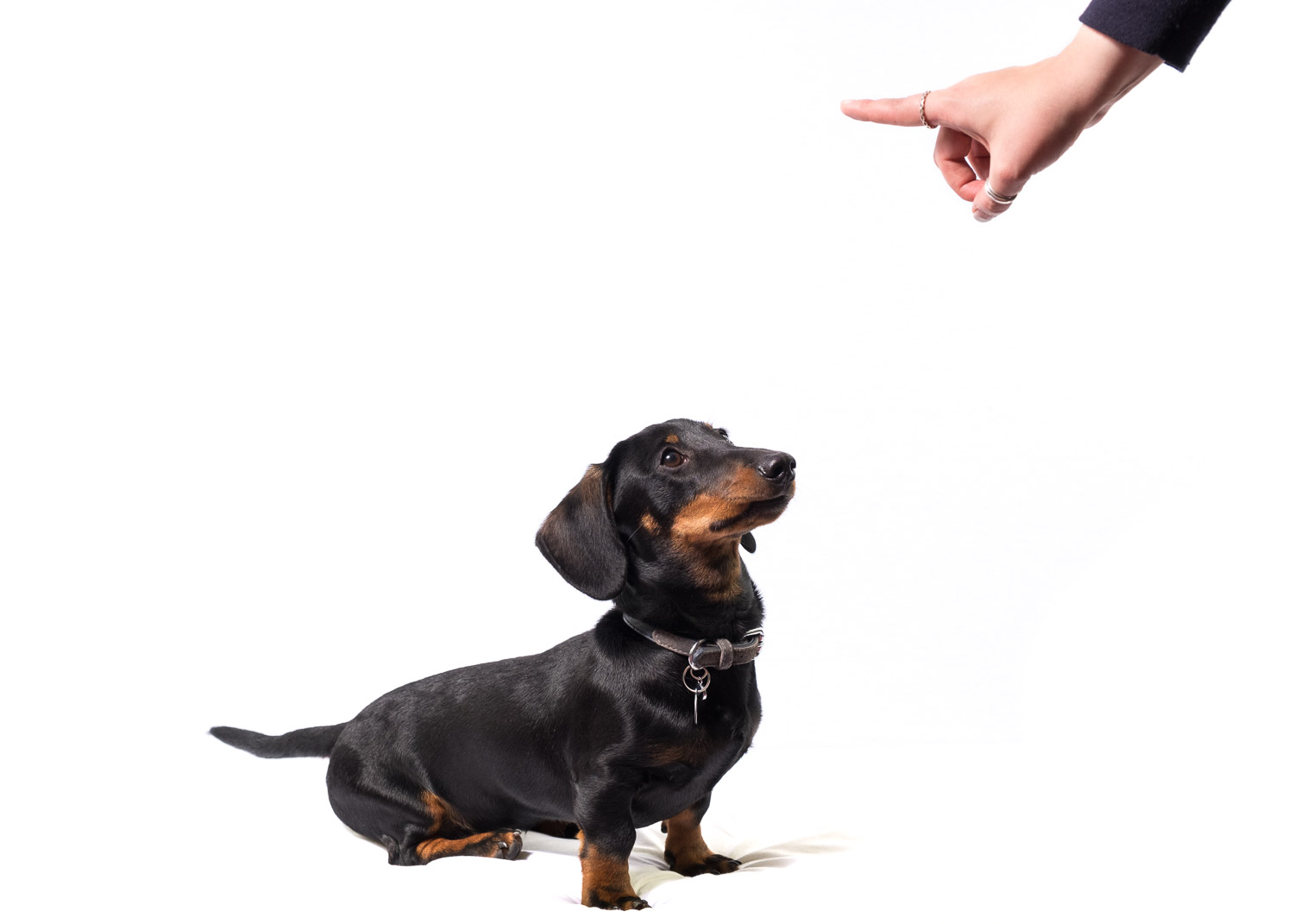 Dachshund and pointing hand