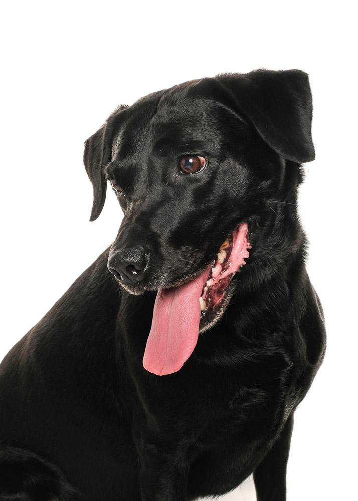 Black Labrador dog photograph