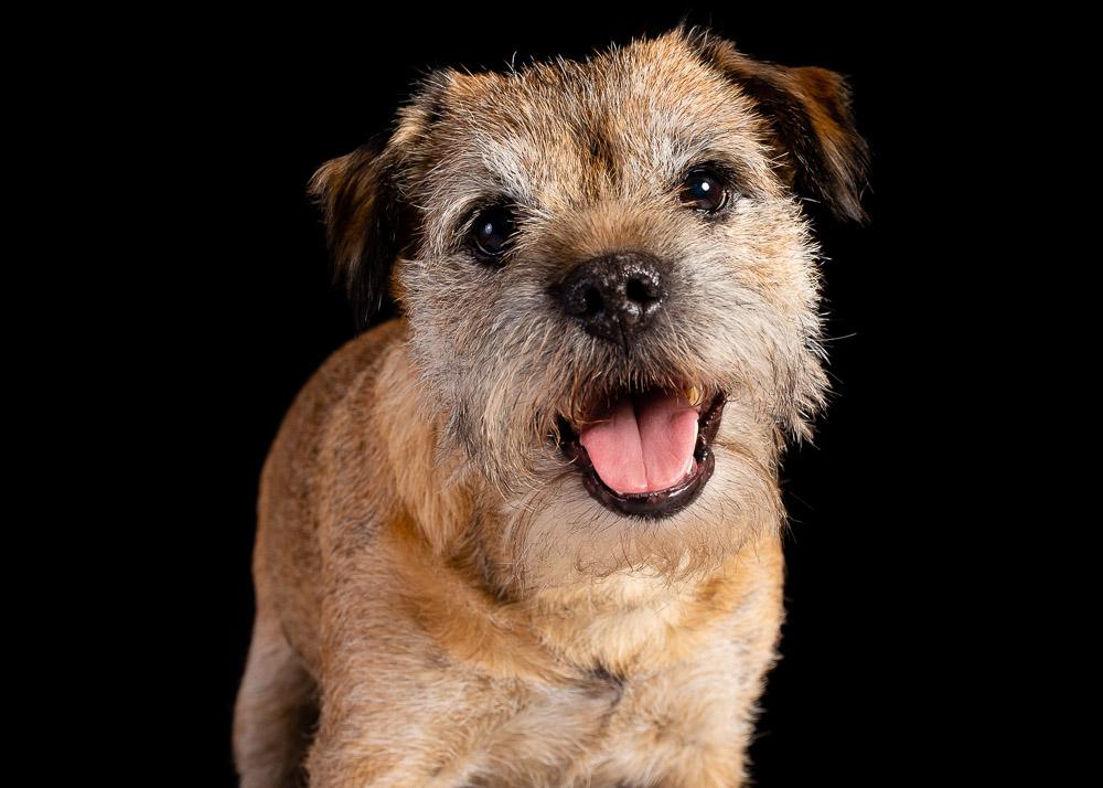 Border Terrier dog photograph