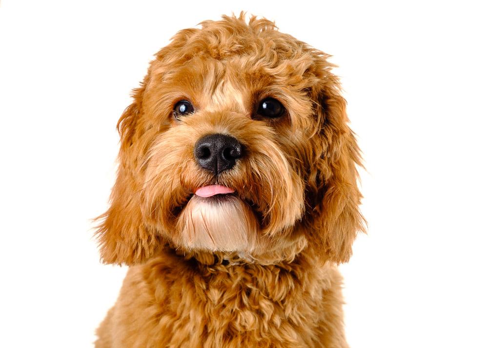 Cavapoo dog photograph