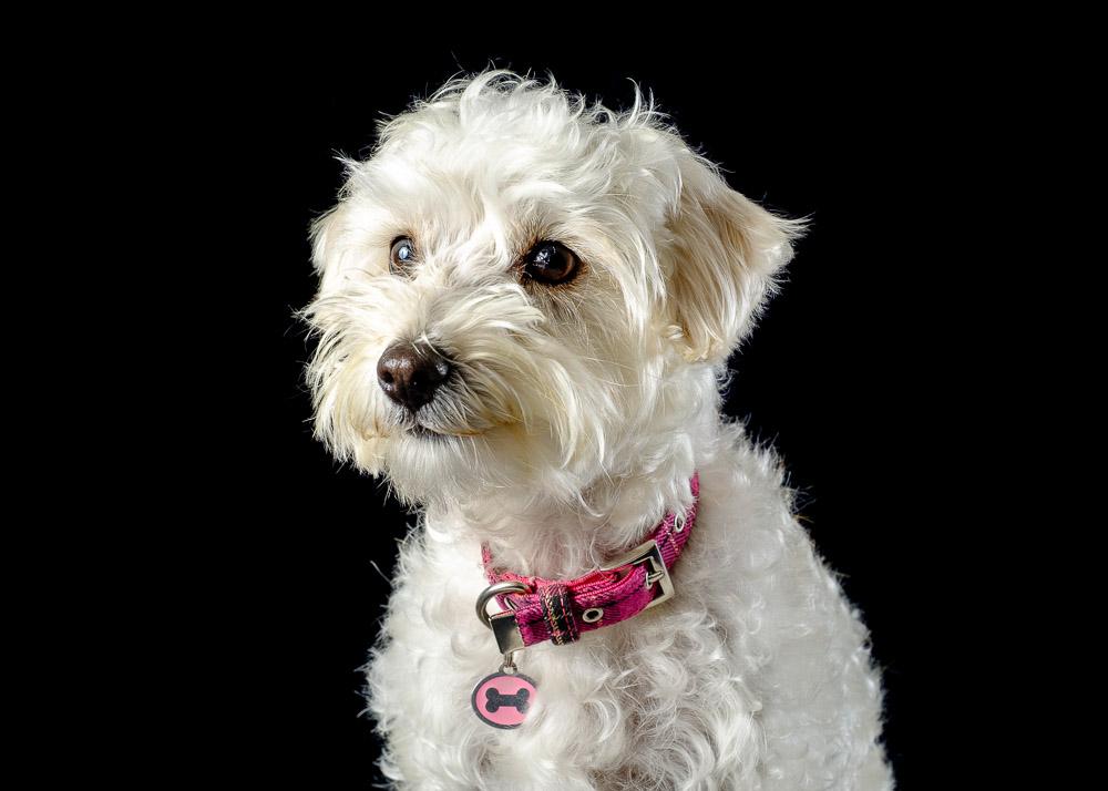 Westipoo West Highland Terrier Westie cross Poodle dog photograph