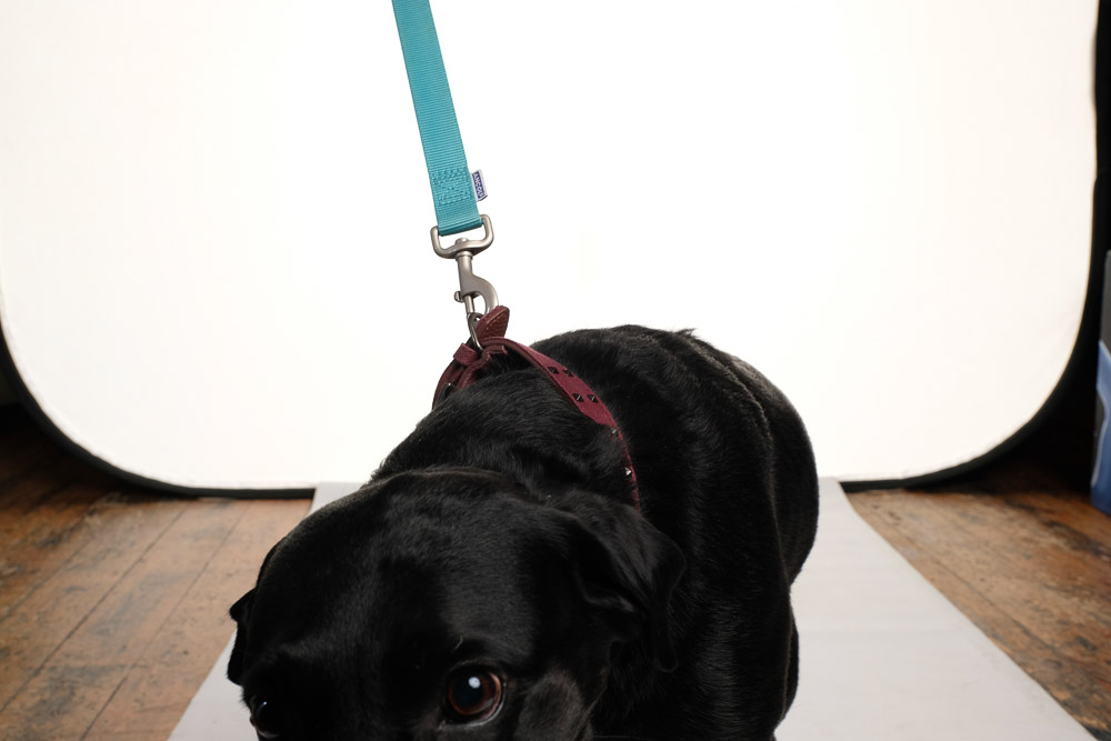 Black Labrador before.jpg