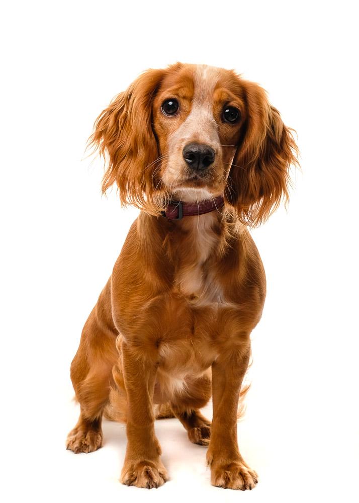 Cocker Spaniel dog photograph