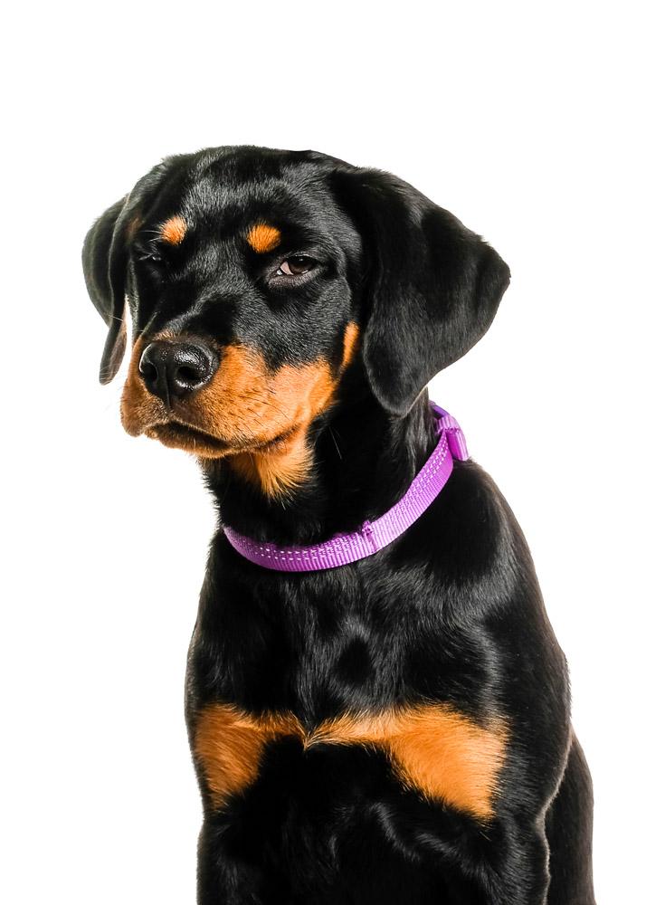 Rottweiler puppy dog photo