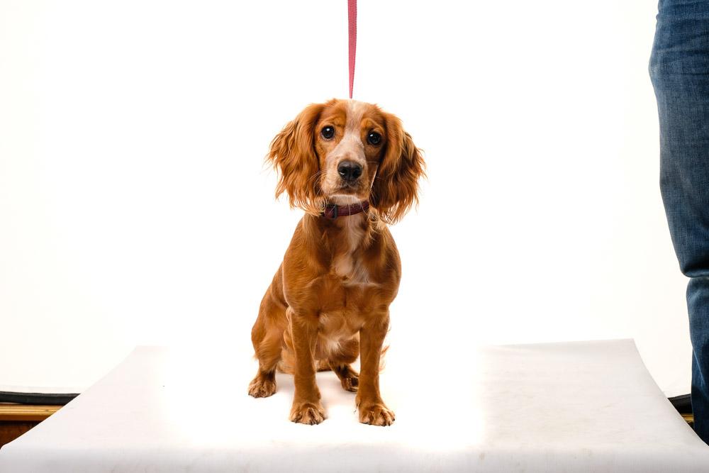 Cocker Spaniel dog photo