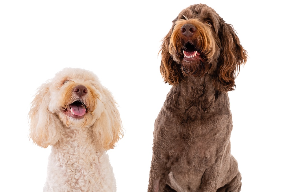 Rudy the Cockapoo and Tilly the Labradoodle at a Popup Studio Day raising funds for National Animal Sanctuaries Support League