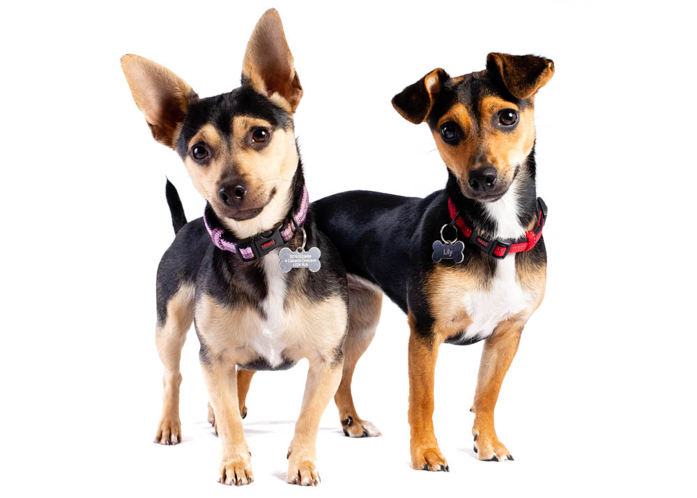 I took my two one-year-old very lively Chihuahua x Jack Russells and he definitely captured their cheeky personalities. - Dawn M, Tadcaster