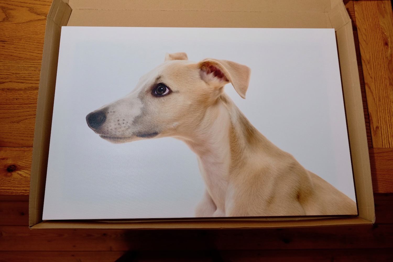 Whippet pet photography